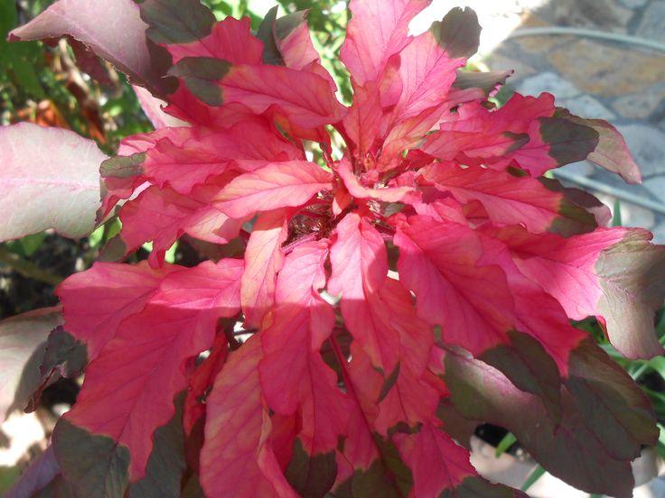 (Amaranthus sp.)