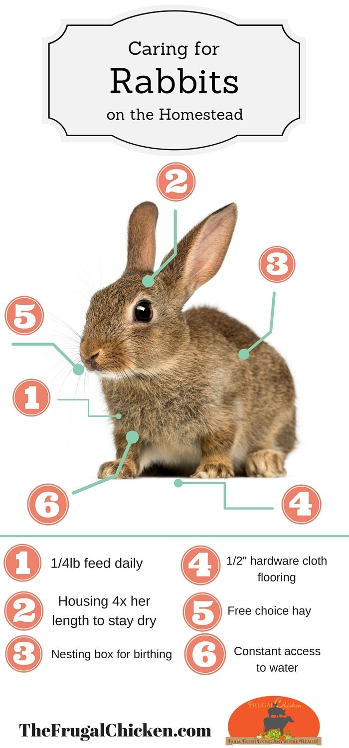 Here's the basics of caring for meat rabbits on the homestead in one easy visual. Pin will take you to an article where you can read more.  Bloggers: Feel free to use graphic as long as it stays unedited and is credited to TheFrugalChicken.com