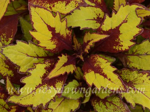 Spiced Curry [S47] - $6.00 : Online Coleus Plant Catalog | Rosy Dawn Gardens, | Coleus Growing Specialists