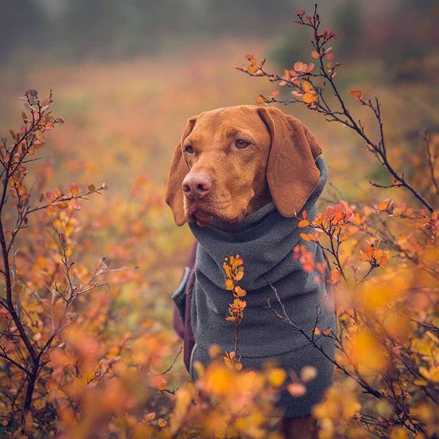 Pin By Samsi3 On Vizsla Vizsla Vizsla Dogs Vizsla Puppies