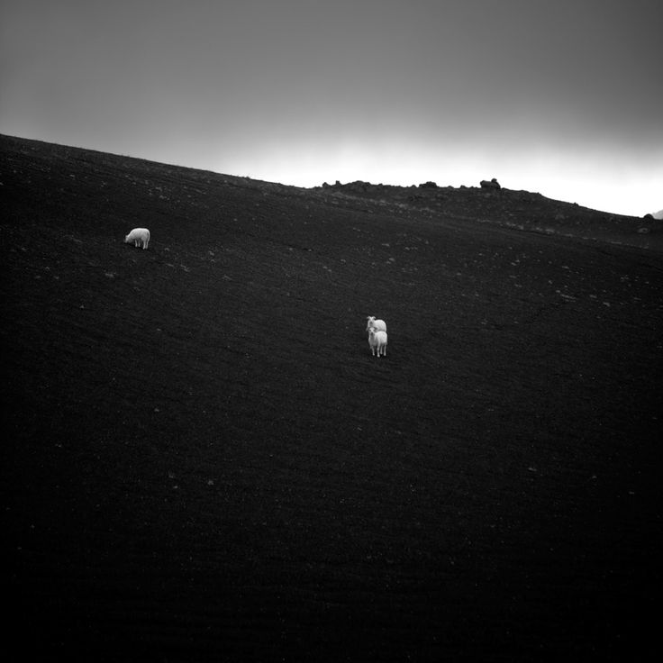 Desert 3 moutons au milieu d'un désert de sable noir, assez surprenant non ? #islande #black #white #Iceland