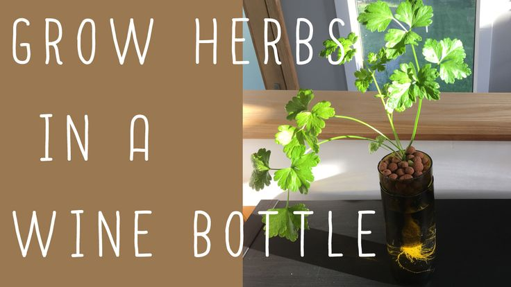 easy #kratky #hydroponics container for #growing #herbs and vegetables! #upcycle #wine #bottles (easy #DIY)