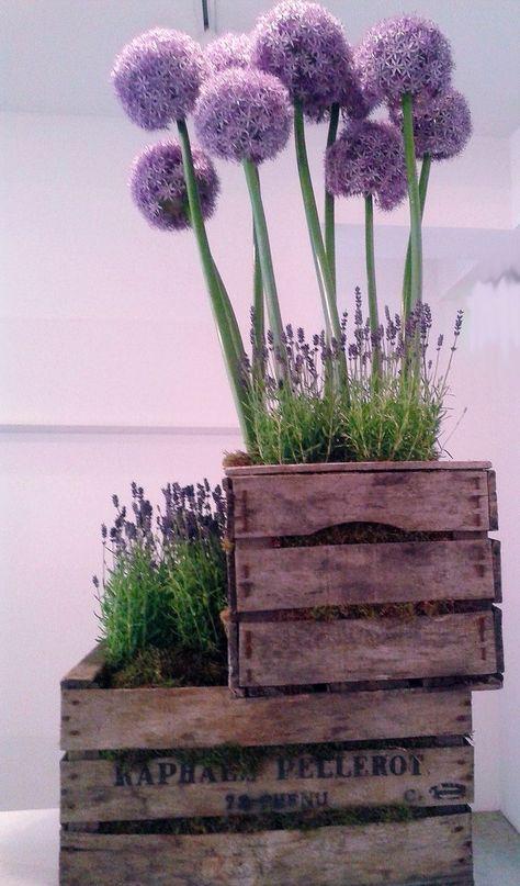 Lavendel und Zierlauch (Allium) in Weinkisten