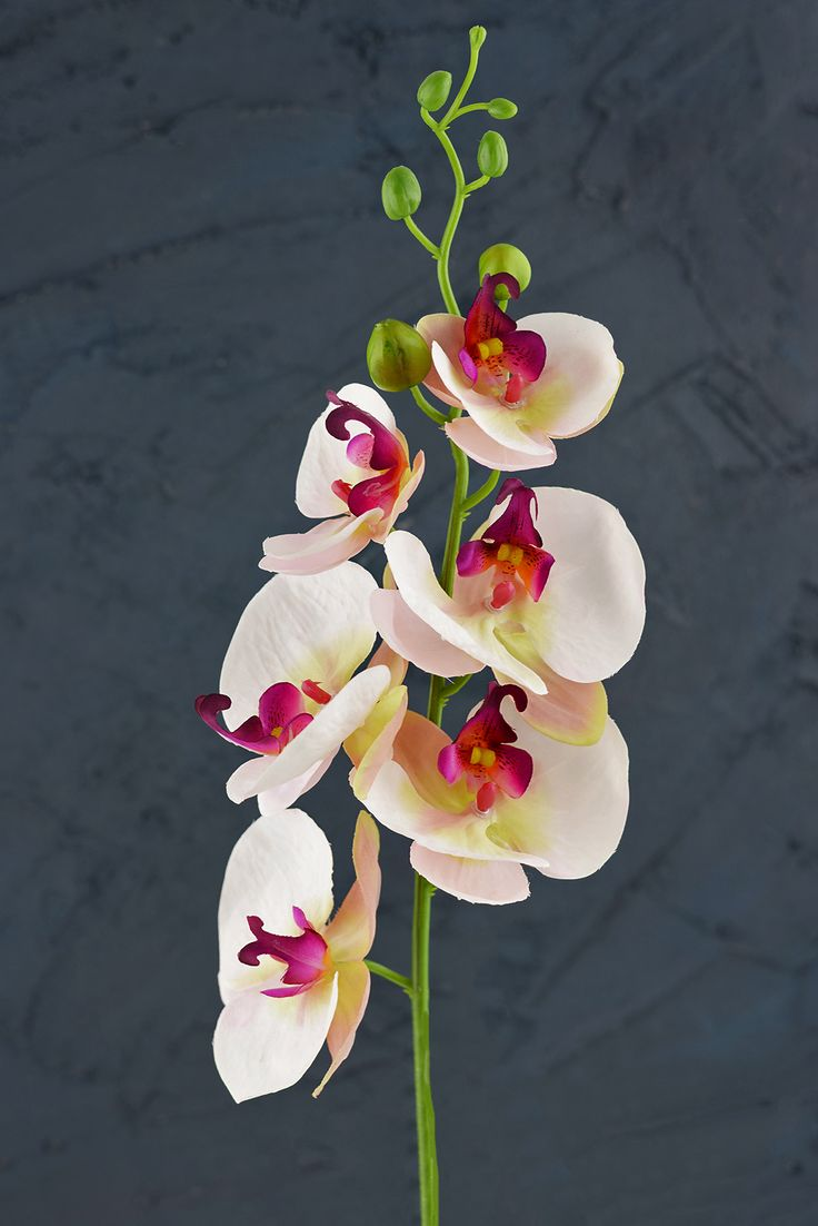 """Phalaenopsis Orchid Spray in Cream  with Pink & Purple Highlights - 33"""" Tall"""