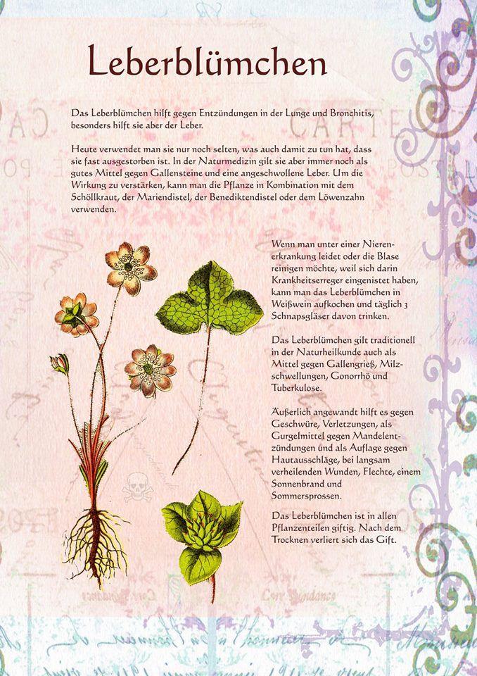Leberblümchen http://www.kraeuter-verzeichnis.de/
