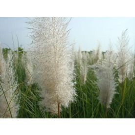 Monrovia�3 Quart- Ivory Feathers Dwarf Pampas Gras fall flowering