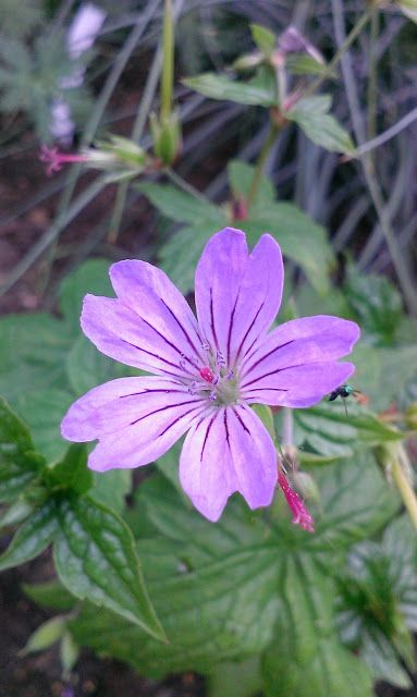 Geranium 'Svelte Lilac'