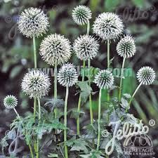 Image result for globe thistle plant arctic glow