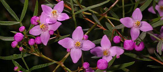 Boronia pinnata -- an Australian Native Plant