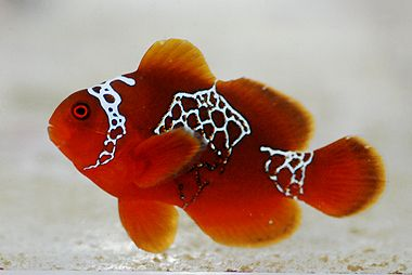 Lightning Maroon Clownfish - one of the descendents of this fish is now in the tank! :)