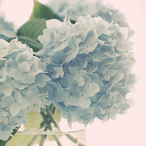 Crisp Carolina blue hydrangea blossoms. I need a bouquet!