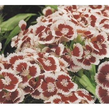 Dianthus barbatus 'Holborn Glory', Sweet William