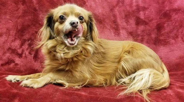 Pomeranian dog for Adoption in Modesto, CA. ADN-752006 on PuppyFinder.com Gender: Female. Age: Adult