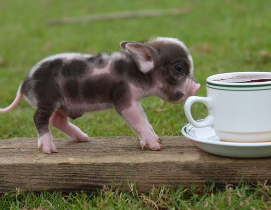 Micro Pigs grow to be 14in tall and have become so popular that they are now almost impossible to get hold of in Britain.