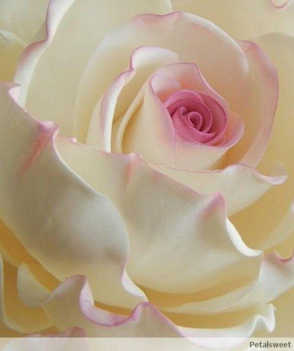ROSA Hermosa con algunas orillas de color