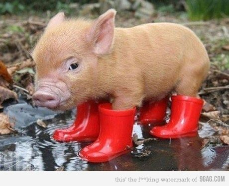 SO CUTE!!: Piglets, Little Pigs, Red Boots, Rain Boots, Pet, Minis Pigs, Baby Pigs, Piggy, Teacups Pigs