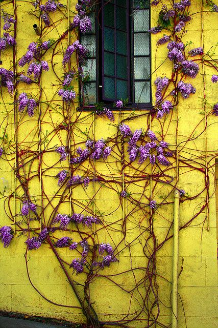 yellow/purple: Colors Combos, Yellow Wall, Colors Combinations, Flower Vines, Gardens, Windows, Yellow House, Lemon Yellow, Purple Flower