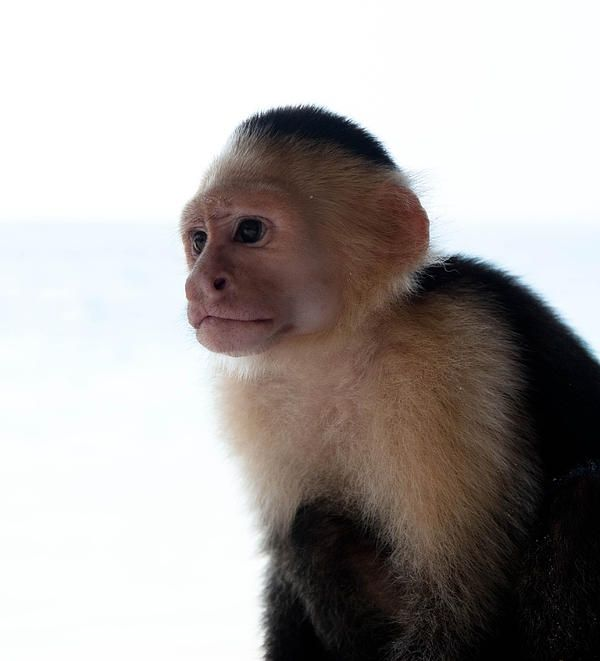 White Faced Capuchin Monkey Headshoot Photograph by Zina Zinchik - White Faced Capuchin Monkey Headshoot Fine Art Prints and Posters for Sale