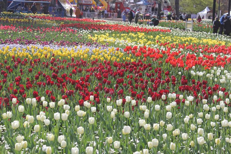 Floriade in Canberra -we visited Sept 2015 to peak at the 1 million bulbs that were planted
