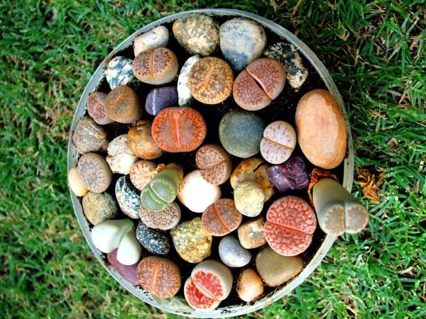 My First Lithop Collection by muzaffarcactus1, via Flickr