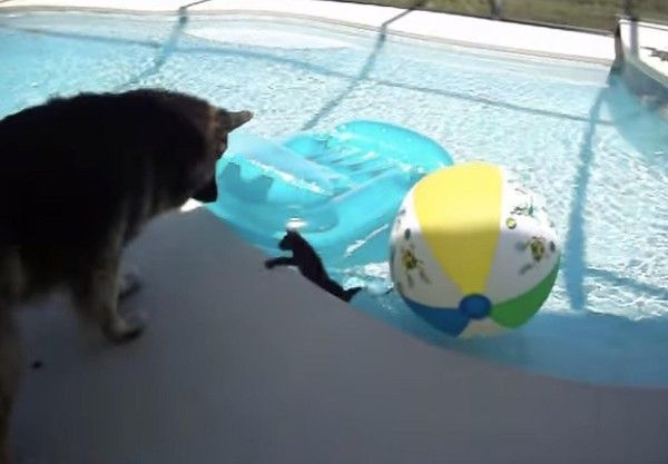 Dog Babysitter Gets Scared When His Little Kitten Almost Falls In The Pool