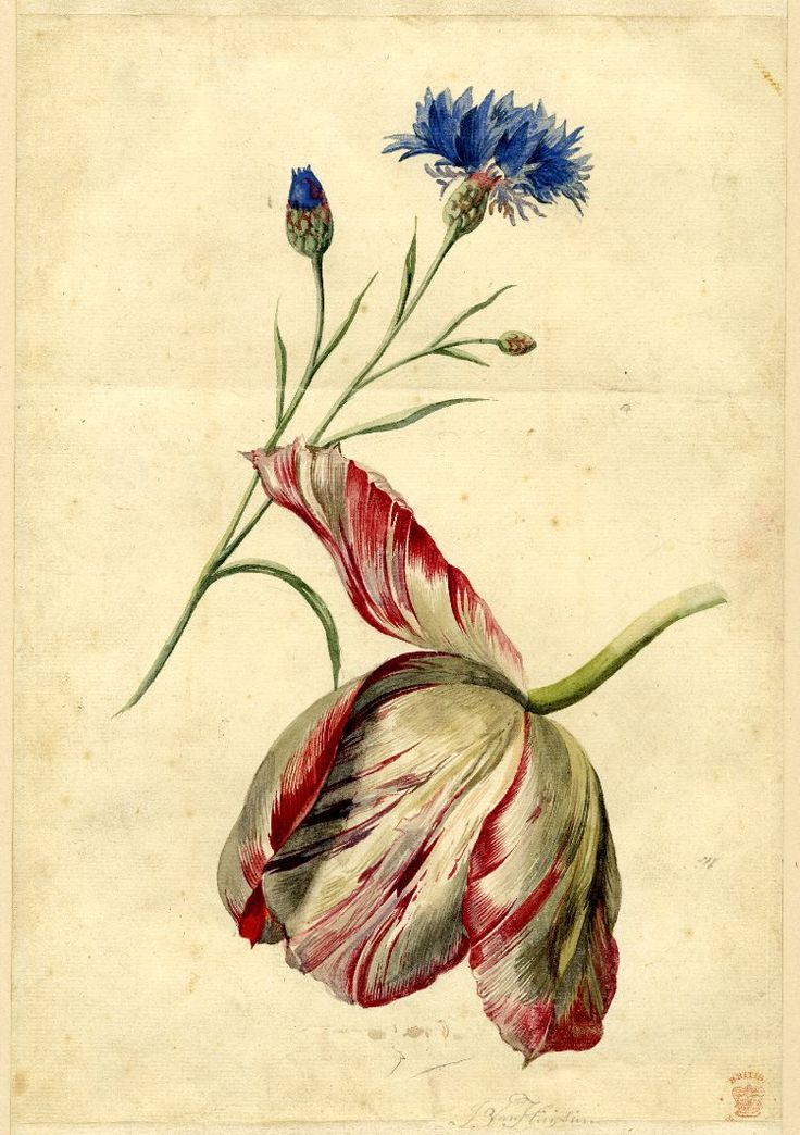 Jan van Huysum Flower study; a Cornflower and a Tulip (?) Watercolour, with strip adjoined above and below  School/style - Dutch term Date - 1697-1749 Materials - paper Technique - drawn Dimensions - Height: 299 millimetresWidth: 188 millimetres