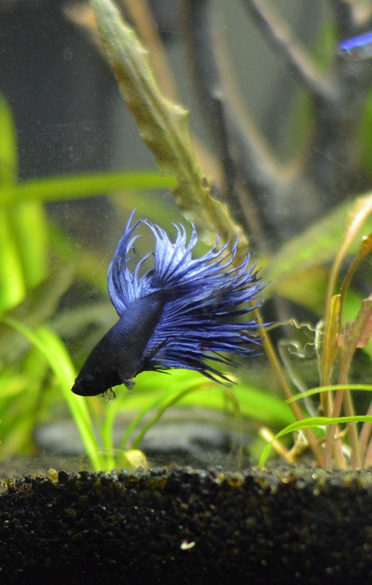 Le bien connu poisson combattant ou betta splendens. Il en existe de pratiquement toutes les formes et toutes les couleurs grâce au travail de sélection