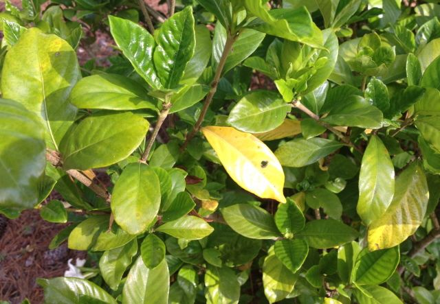 What S Wrong With My Gardenias Yellow Leaves Spots Rust Johntheplantman Gardening In 2020 Yellow Leaves Gardenia Plant Gardenia Shrub