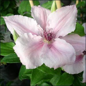Clematis, loisokärhö 'Pink Fantasy'. Herkän vaaleanpunaiset, todella suuret kukat. Hieno kanadalainen lajike. Kasvupaikka: Aurinko-puolivarjo. Kukinta-aika: VII-IX Korkeus: 2,0-2,5. Taimimoisiosta Porista 2016.