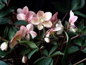 Pink Frost Christmas Rose