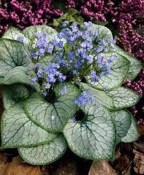 Brunnera macrophylla Kaukasisk förgätmigej `Jack Frost´ Passar i vita rabbater, sprider snabbt ut sig. Blommar länge i april-maj och passar bra med tulpaner och vitblommande narcisser, vivor, vita löjnantshjärtan och sockblomma. Bör stå skyddat för vind, trivs i näringsrik jord med god fukt och i sol-halvskugga. Lätt att dela på hösten och ger snabbt nya plantor.
