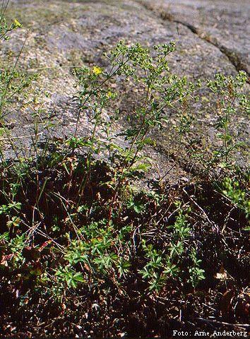 Tysk fingerört förekommer från Skåne till Jämtland, men är sällsynt och ofta tillfällig. Den påträffas oftast i vägkanter, gräsmarker och på grusiga ruderatmarker.