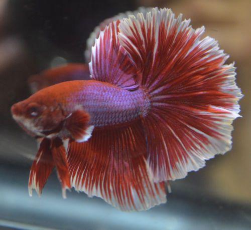 17 best images about betta fish on pinterest betta tank for Betta fish friends