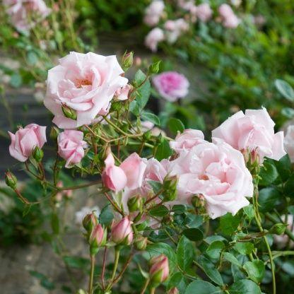 New Dawn - David Austin Roses