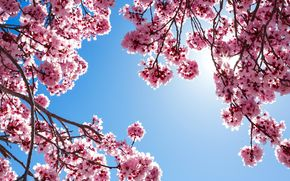 Обои цветущие деревья, ветки, розовый
