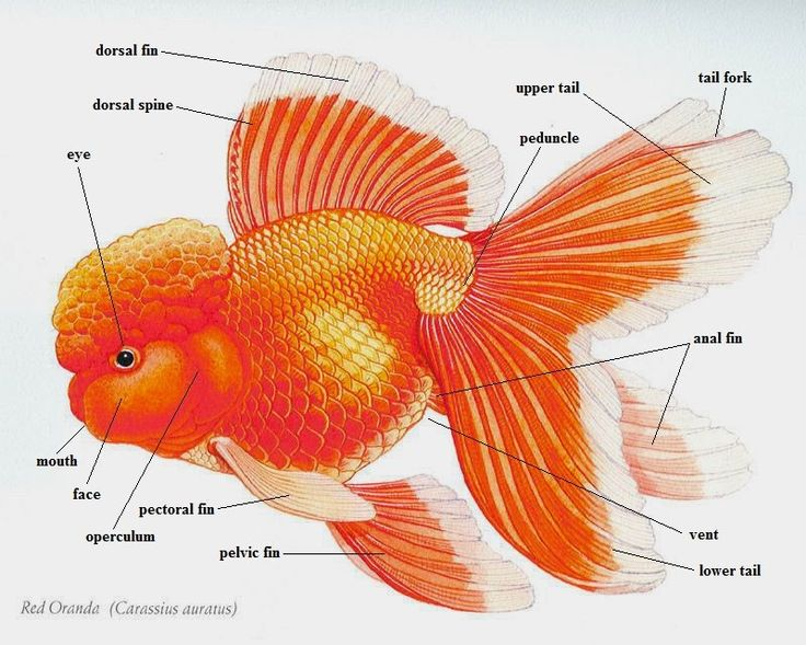 Koi fish anatomy
