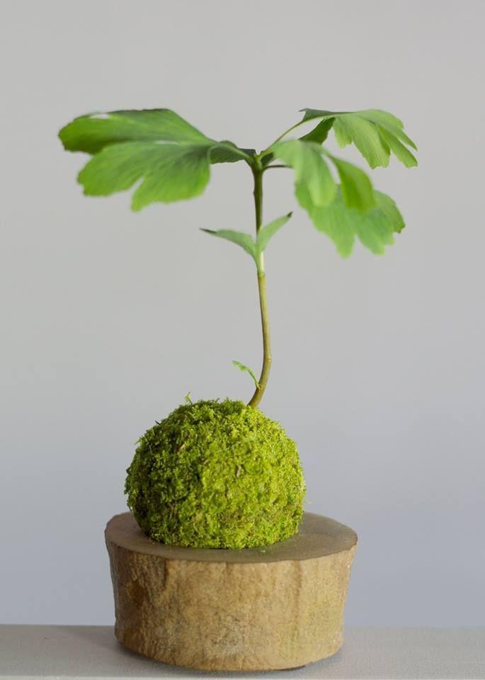 Kokedama figuier + tranche de bambou