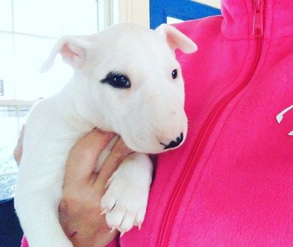 Bull Terrier puppy for sale in RICHLAND, MI. ADN-24669 on PuppyFinder.com Gender: Female. Age: 6 Weeks Old