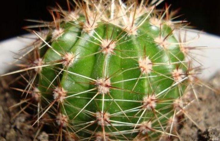 Fructele de cactus sunt bogate în antioxidanţi, enzime, vitamine şi minerale, fibre, licopen şi fitoalbumine.  Conţin vitamina A, vitamine din complexul B, vitamina C, betacaroten (mai ales cele cu pulpa roşie), vitamina E, zinc, selenium, fier, calciu, magneziu.