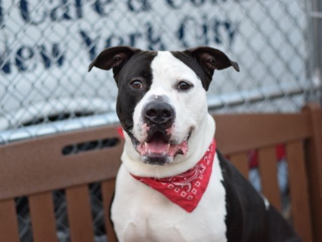 """OREO - A1076425 TO BE DESTROYED 06/23/16**MULTIPLE TIMES ON LIST FOR THIS HANDSOME COOKIE!** Hello handsome !! Oreo is a eighty pound Staffy mix who likes to meet to new people, his loose and wiggly style of greetings makes for nice introductions. Oreo made his way to the ACC of NYC due to a landlord issue. His former owner left gracious owner surrender comments, which left Oreo in need of a new home. Oreo knows commands and even """" parks his bottom """" for sit and stay. He was friendly to…"""