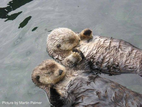 See otters hold hands while they sleep... so they don't drift away from each other!