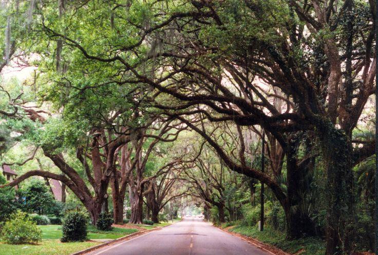Tree canopy, Ocala, Florida