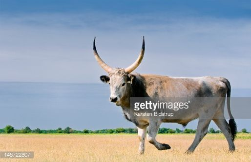 Stock Photo : Hungarian grey cattle.