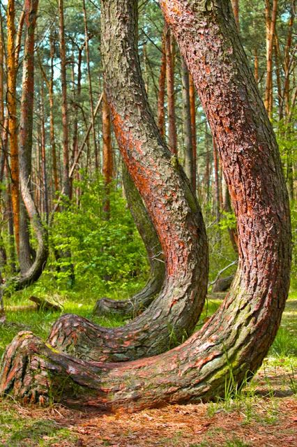 The Crooked Forest, Gryfino, Poland. This grove of 400 pine trees was planted circa 1930, when its location was still within the German province of Pomerania. It is believed that a tool or technique was used to deliberately make all the trees bend in the same direction (north), but the method & motive are unknown. One theory is that tanks rolled over the young trees in WW!! snapping their trunks but not killing them. The mystery is part of the attraction