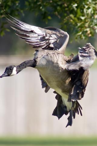 Белощекая казарка. Длина тела 60—70 см, длина крыла 38,5—43 см, вес 1—2,5 кг. Внешне напоминает канадскую казарку. Имеет двухцветную окраску оперения: чёрная сверху, белую снизу. На боках тела серые полосы (они сильнее развиты у самцов). У молодых птиц вместо чёрного цвета в оперении преобладает тёмно-бурый. Пуховый птенец сверху тёмно-серый, снизу беловатый. У белощёкой казарки резко выделяются белые бока головы, лоб и горло. Бегает быстро и нередко таким способом спасается от опасности во…