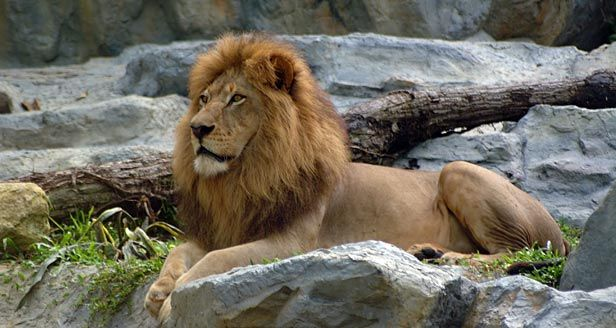 lion species | ... Lions have a short tawny coat, a tufted tail, and male lions have a