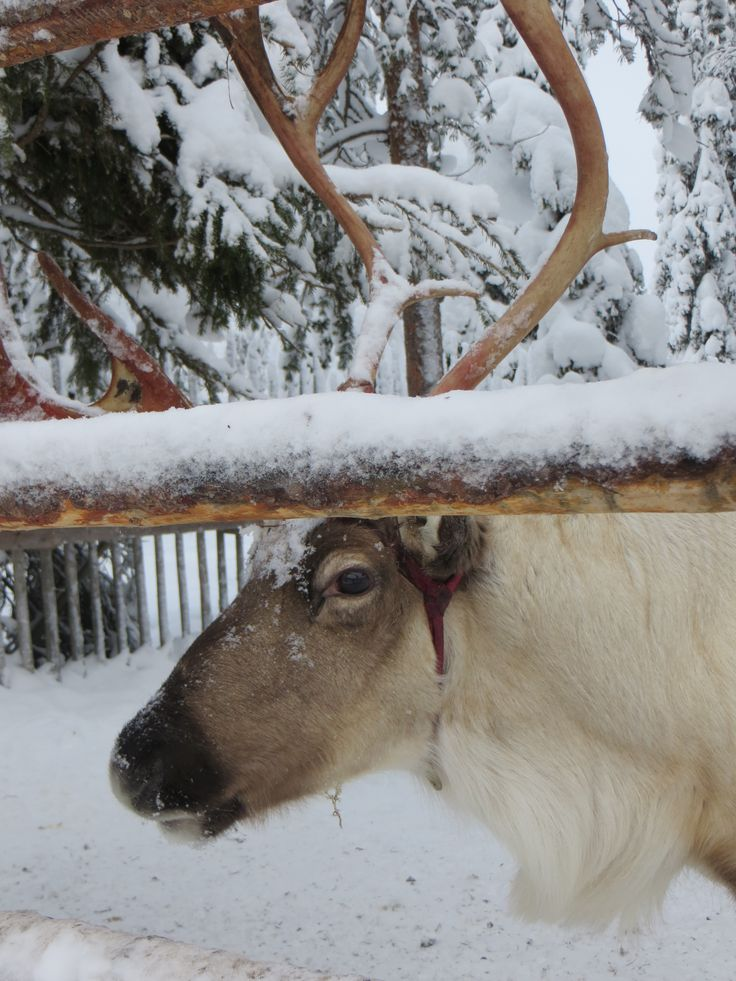 Reindeer at Lammintupa Café, Ruka