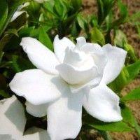 Frost Proof Gardenia (evergreen), 3-4' x 3-6', Full-Partial Sun