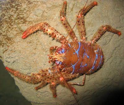 Anomuros   Cangrejos ermitaños, cangrejos de porcelana y cangrejos de los cocoteros. También son anomuros pero no se suelen llamar cangrejos, por ejemplo, los sastres (género Galathea) o los topos de mar (género Callianassa).   acuatica