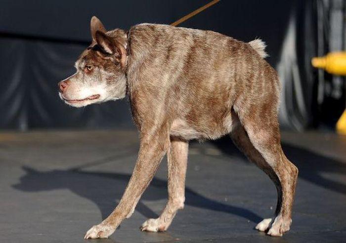 #интересное  Пес Квази Модо стал самой уродливой собакой в мире (6 фото)   На 27-м конкурсе на звание самой уродливой собаки, который прошел на ярмарке Сонома-Марин в городе Петалума, штат Калифорния, США, победу одержал пес по кличке Квази Модо. 10-летний метис питбу